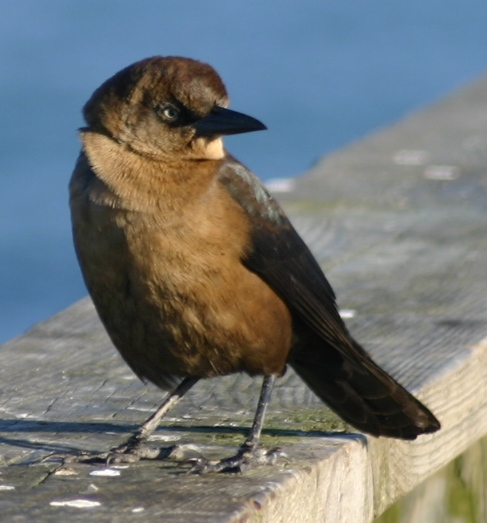 bird black-beaked kure beach 121404.JPG