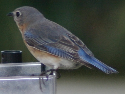 bluebird female durham 31805.JPG