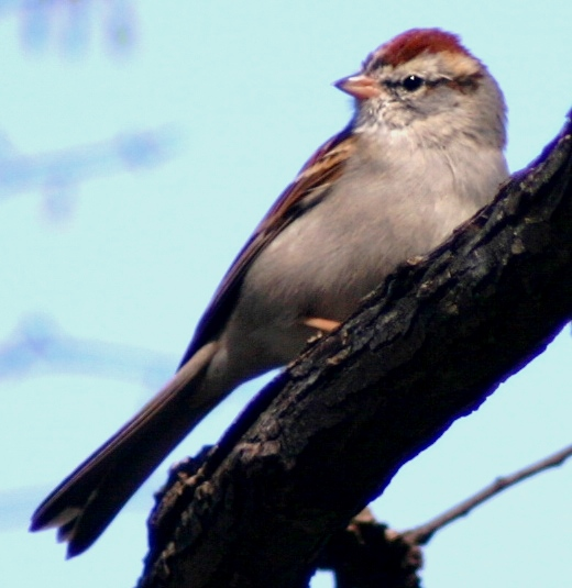 chipping sparrow adult durham 40305.JPG