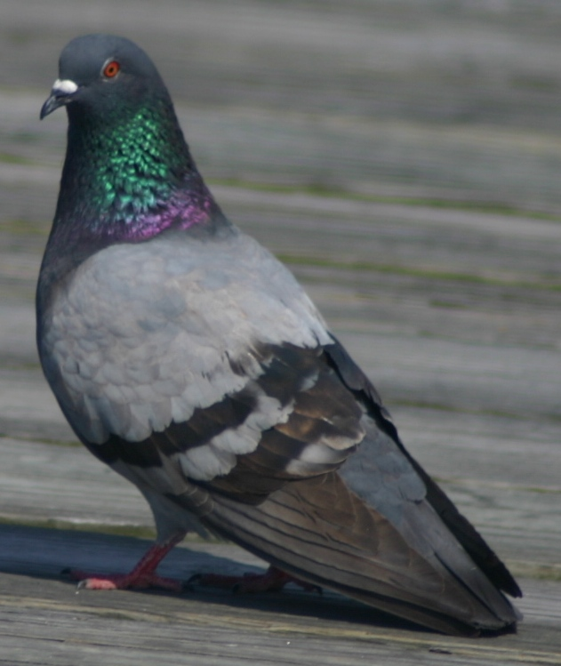 rock pigeon 2 kure beach 42905.JPG