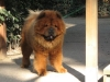 450px_IMG_0382___Chow_Chow_2C_front.jpg