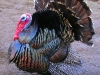 503px-Male_north_american_turkey_supersaturated.jpg