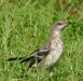 northern mockingbird juvenile durham 82204.JPG