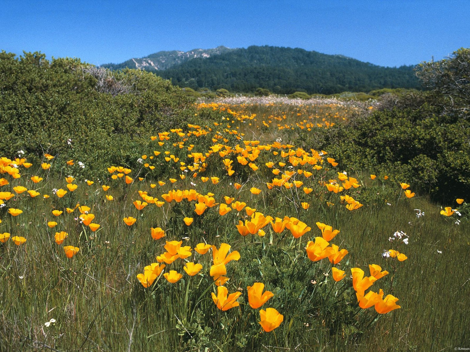 Yellow Brick Road, California Poppies