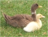 Duck and duckling.jpg